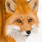 Foxey by Daniel  Parent