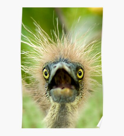 """""""Young Einstein"""" - Baby Tri-Colored Heron Calls Out From Nest Poster"""