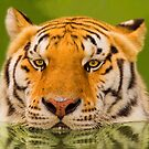 """""""Cool Cat"""" - a Siberian Tiger cools off by ArtThatSmiles"""