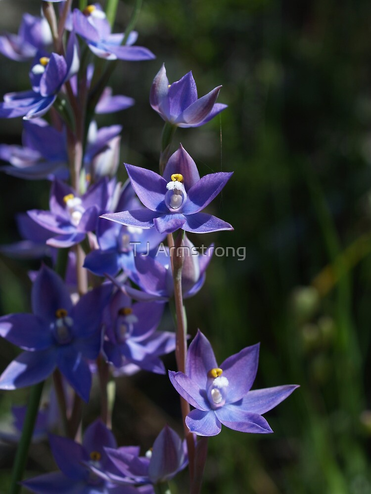 Slender Sun-Orchids by Jay Armstrong