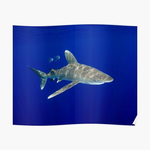 An Oceanic White Tip Shark Cruising in the Deep Blue Poster