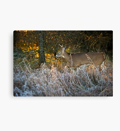Early morning buck  Canvas Print