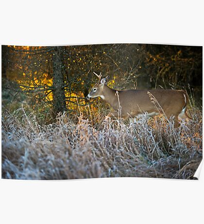 Early morning buck  Poster