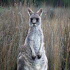 Eastern Grey Kangaroo Female by inthewild