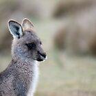 Eastern Grey Kangaroo Juvenile by inthewild