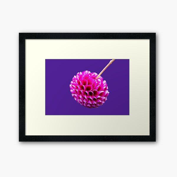 Pink Striped Dahlia  Framed Art Print