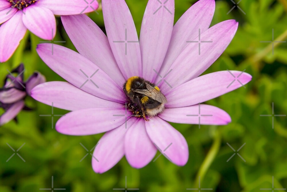 Bumble Bee by Sebastien Coell