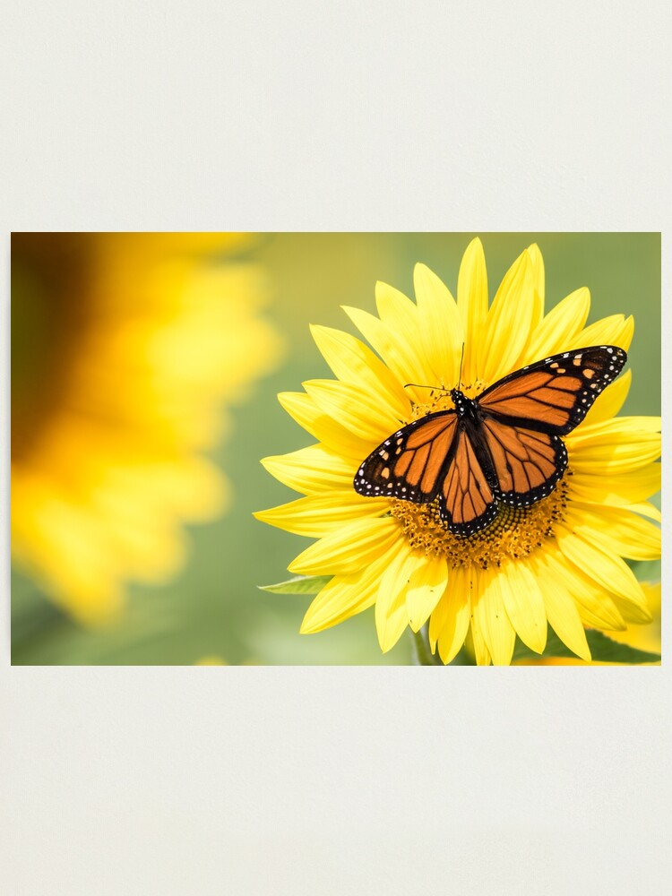 Alternate view of Monarch Butterfly on bright yellow sunflowers on a sunny summer morning Photographic Print
