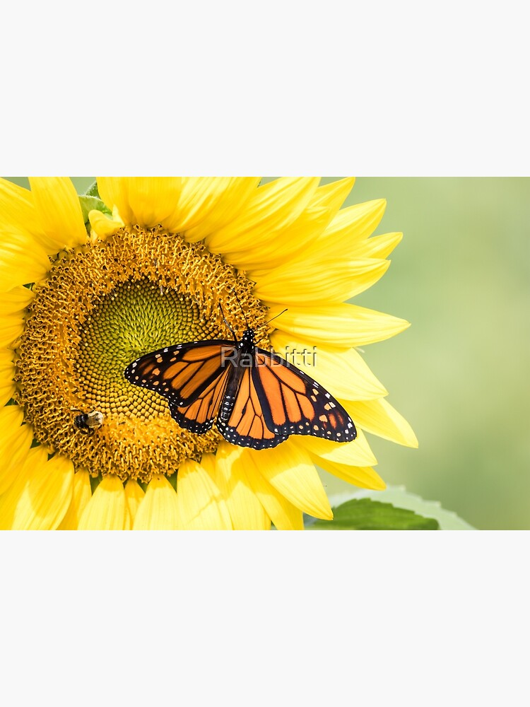Monarch Butterfly on bright yellow sunflowers on a sunny summer morning by Rabbitti