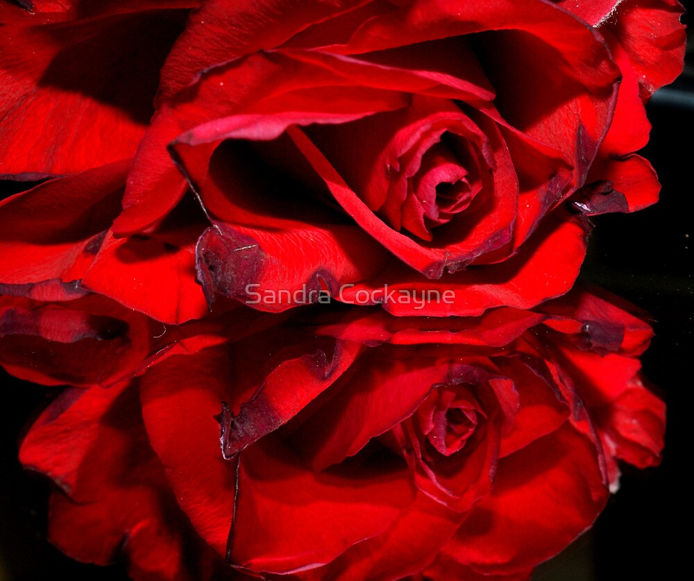 Red Rose Reflection by Sandra Cockayne