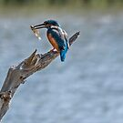 Kingfisher with fish by gml1234