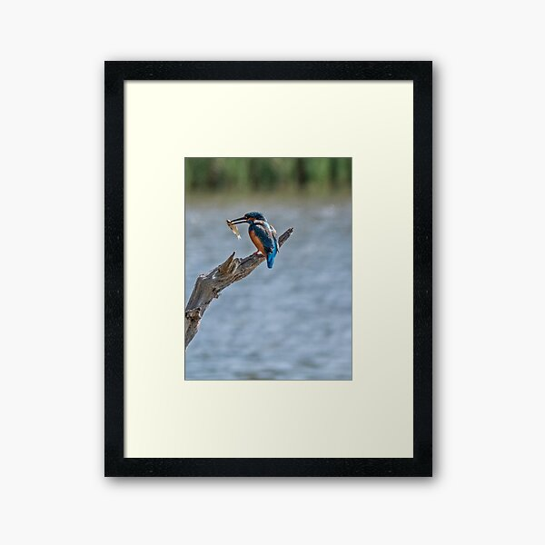 Kingfisher with fish Framed Art Print