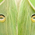 "Luna Moth close-up...""The Stare"" by Daniel Cadieux"