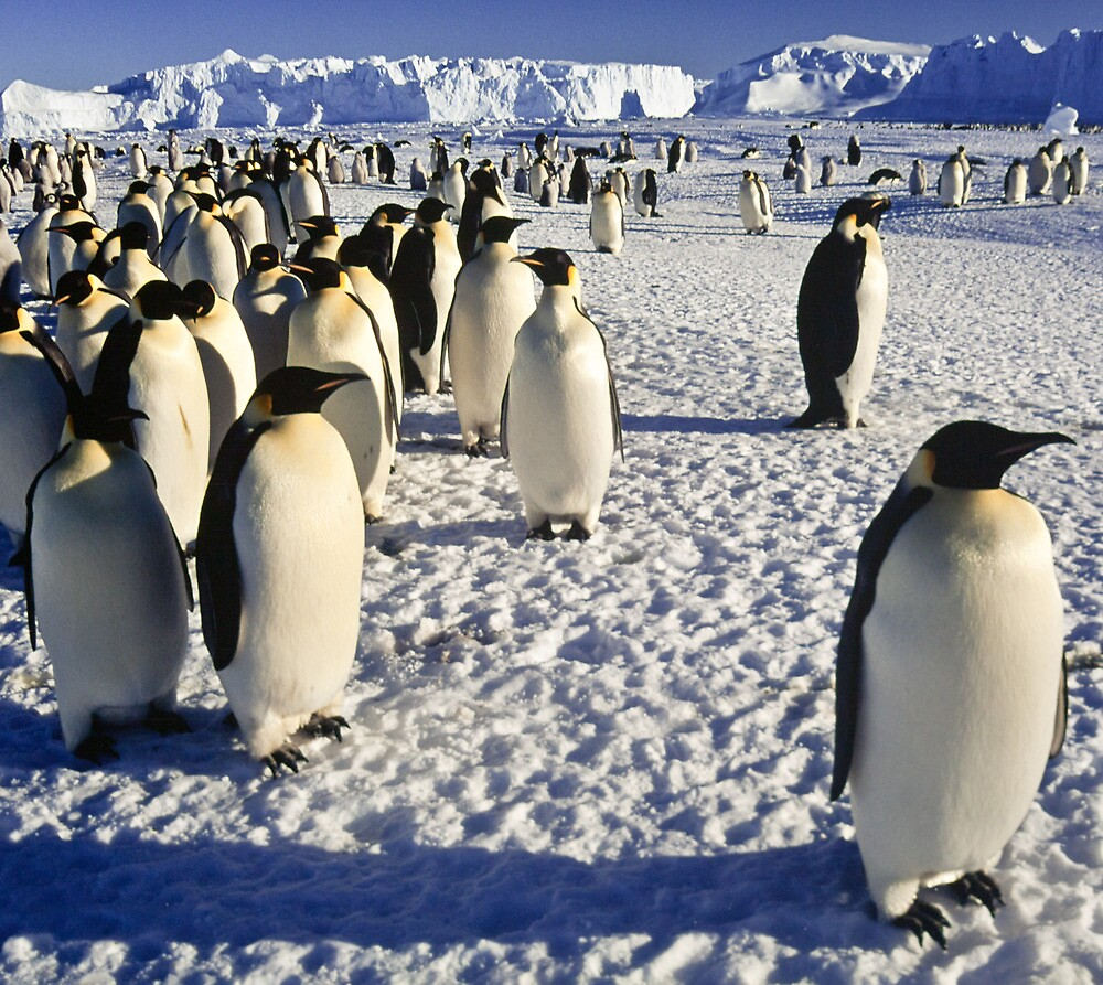 Emperor Penguins, Antarctica by Andy Townsend