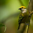 Silver-throated Tanager by Raymond J Barlow