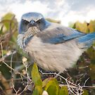 """Scrubbed Off"" - A Florida Scrub Jay seems to be having a bad day. by ArtThatSmiles"