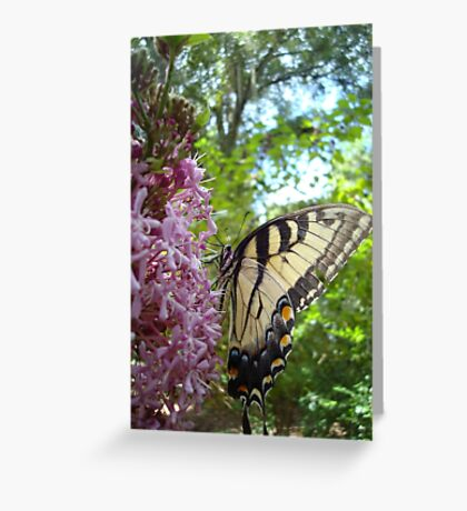 Tiger Swallowtail on Clerodendrom Greeting Card