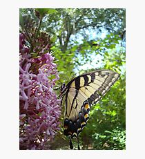 Tiger Swallowtail on Clerodendrom Photographic Print