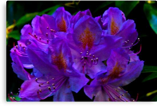 Rhodedendrum Flower by Trevor Kersley