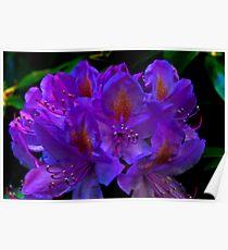 Rhodedendrum Flower Poster