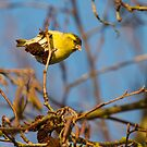 Another Siskin by Robert Abraham