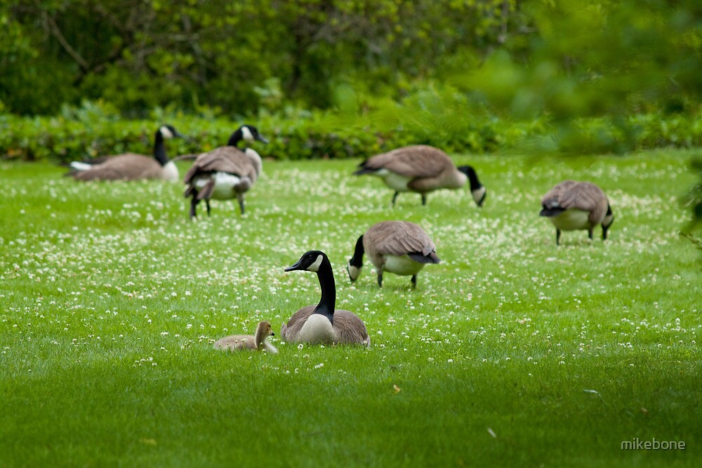 Geese on the Green by mikebone