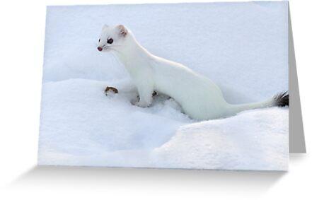 Ermine / Short Tailed Weasel by Gary Fairhead