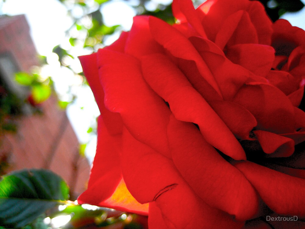 Red Rose by DextrousD
