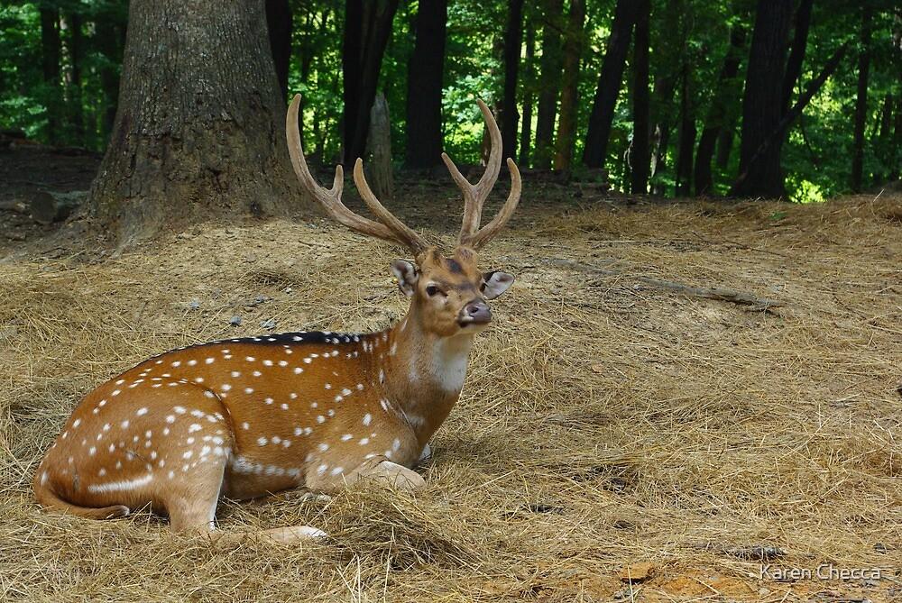 Axis Deer by Karen Checca