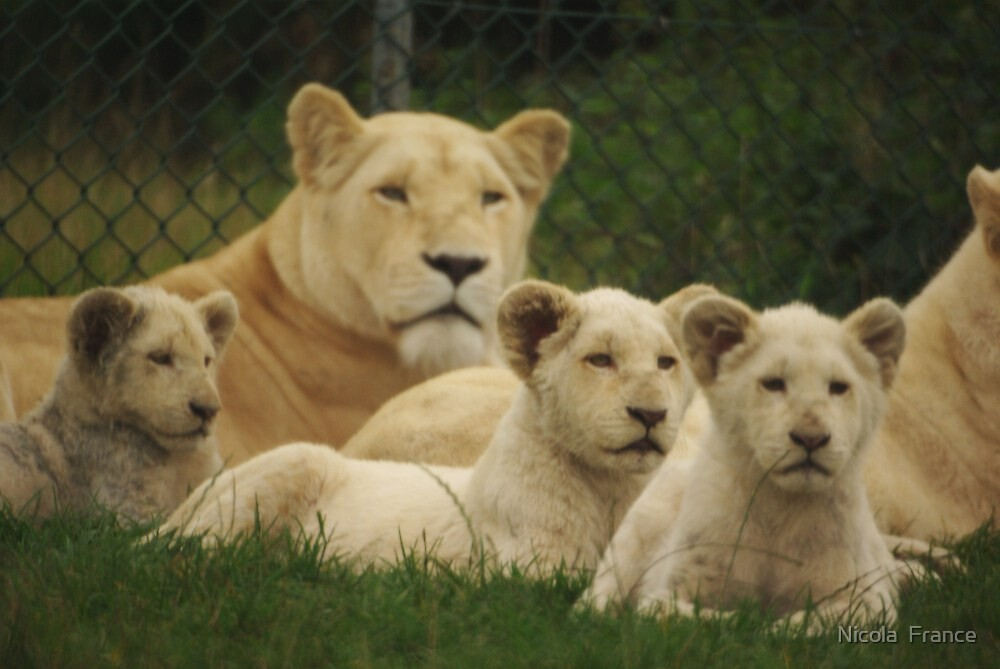 Baby white lions by Nicola  France