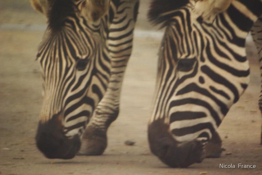 Zebras by Nicola  France