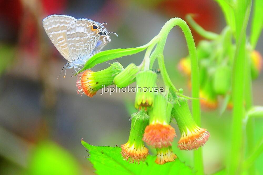 Butterfly by jbphotohouse