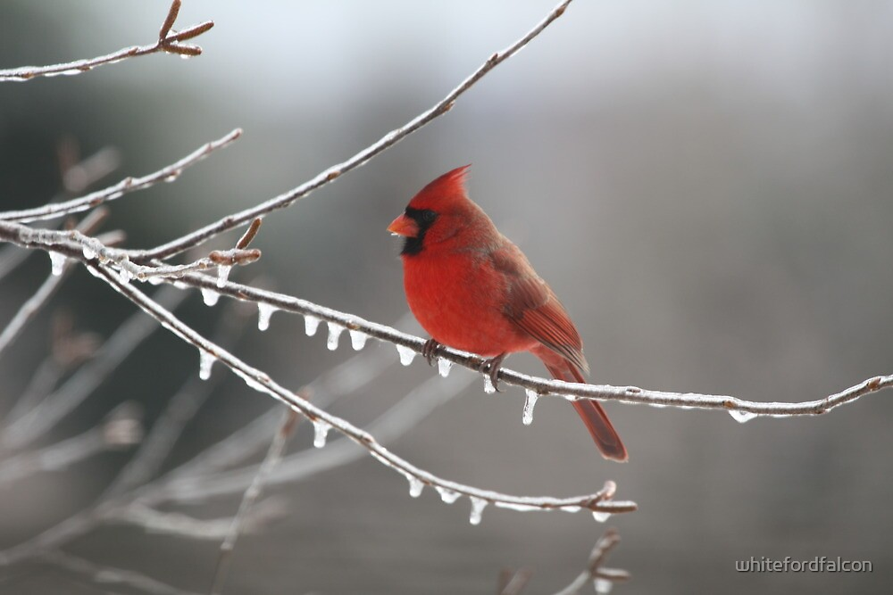 Cold Cardinal by whitefordfalcon