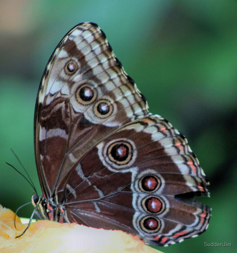 Butterfly Feeding by SuddenJim