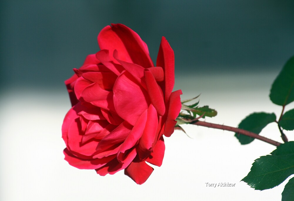 Portrait Of A Rose by Terry Aldhizer