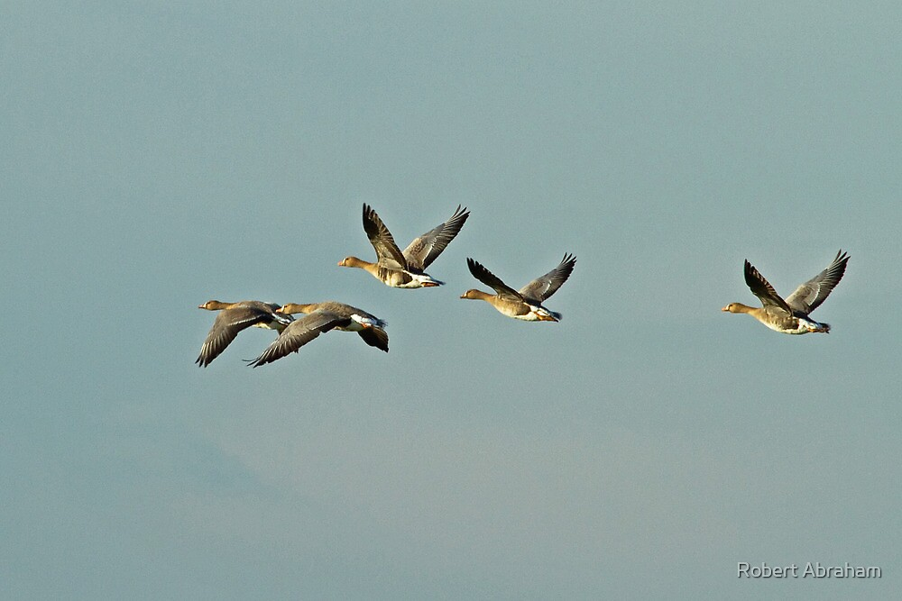 White-fronted Geese by Robert Abraham