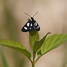 The Eight-spotted Forester Moth by DigitallyStill