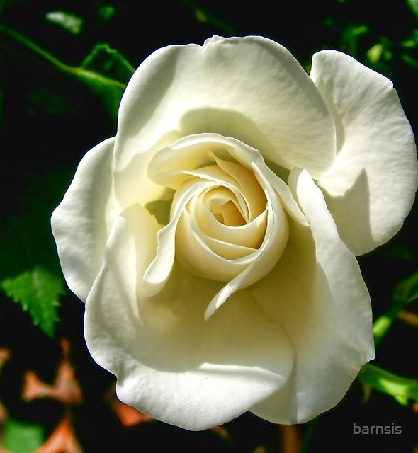 A White Rose for the Love of My Life by barnsis