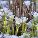 Winter lichens by finnarct