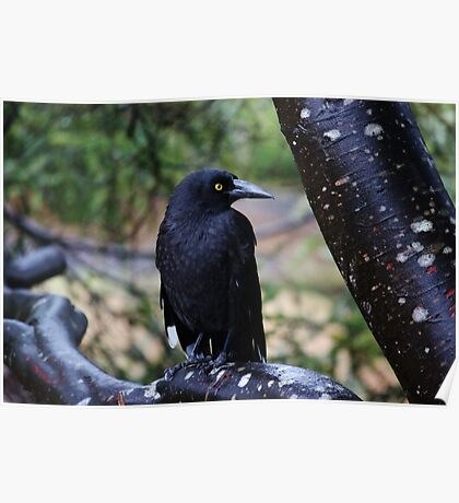 Black Currawong Poster
