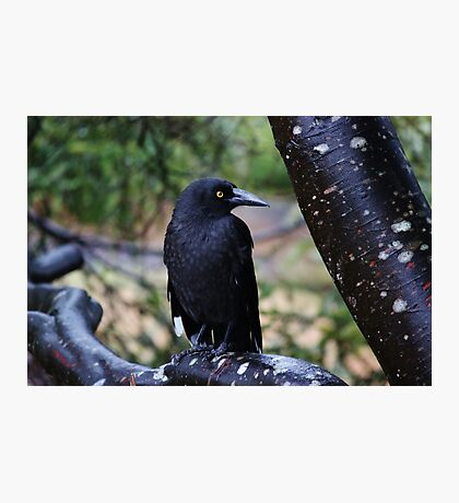 Black Currawong Photographic Print