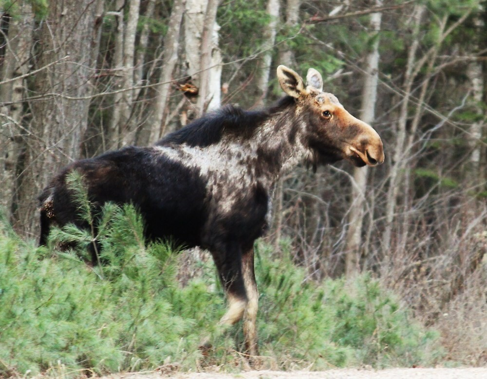 Moose Crossing by pics4me