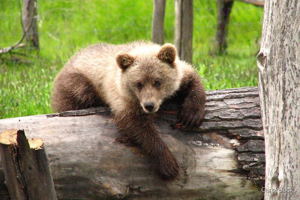 Bear Cub on a Log by Carol Bock