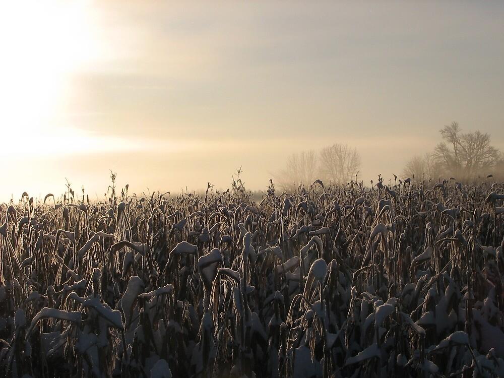 Sun Through the Snowy Corn by Luann66