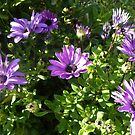 Purple Daisies after the Frost! 'Arilka' Mount Pleasant. by Rita Blom
