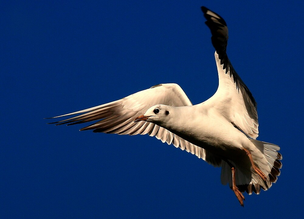 The Black Headed Gull by snapdecisions