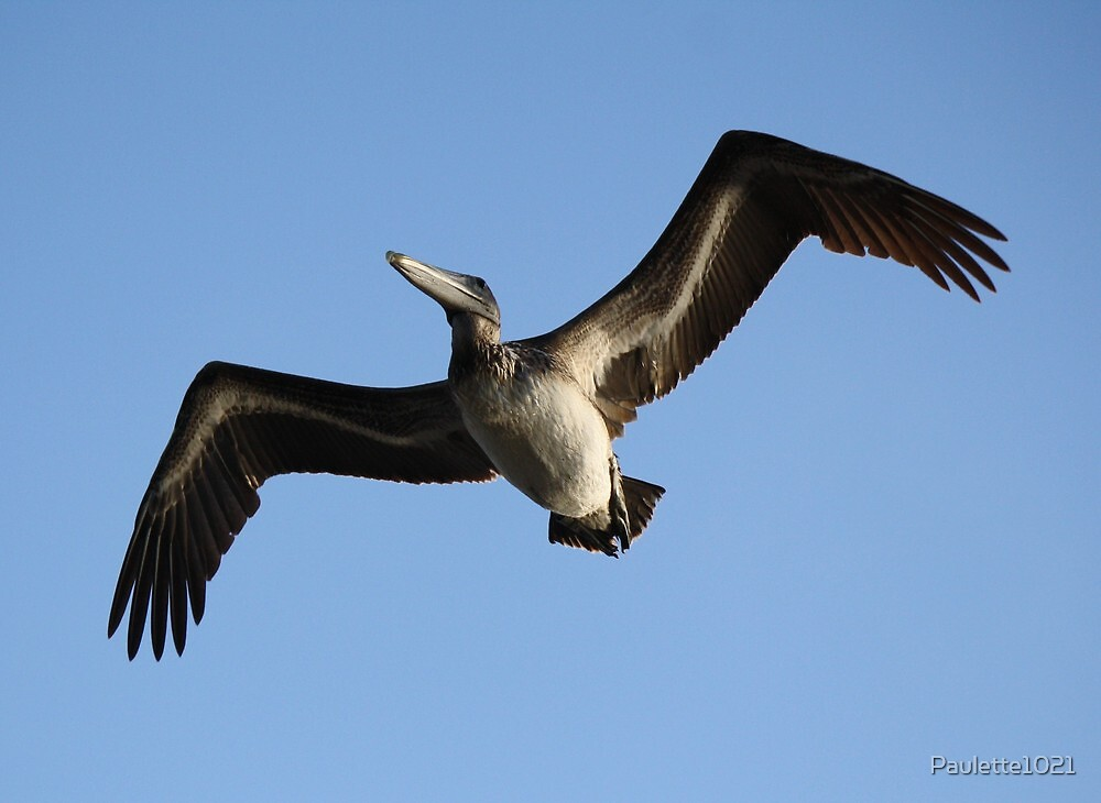 Pelican over the Marsh by Paulette1021