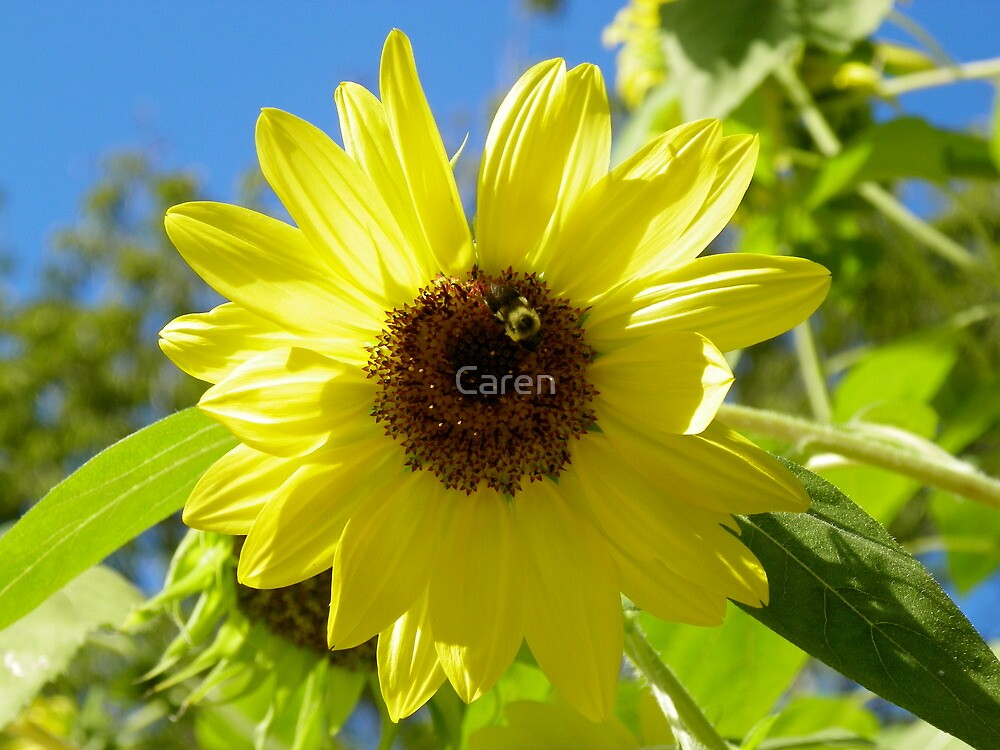 Bumble Bee on Sunflower by Caren