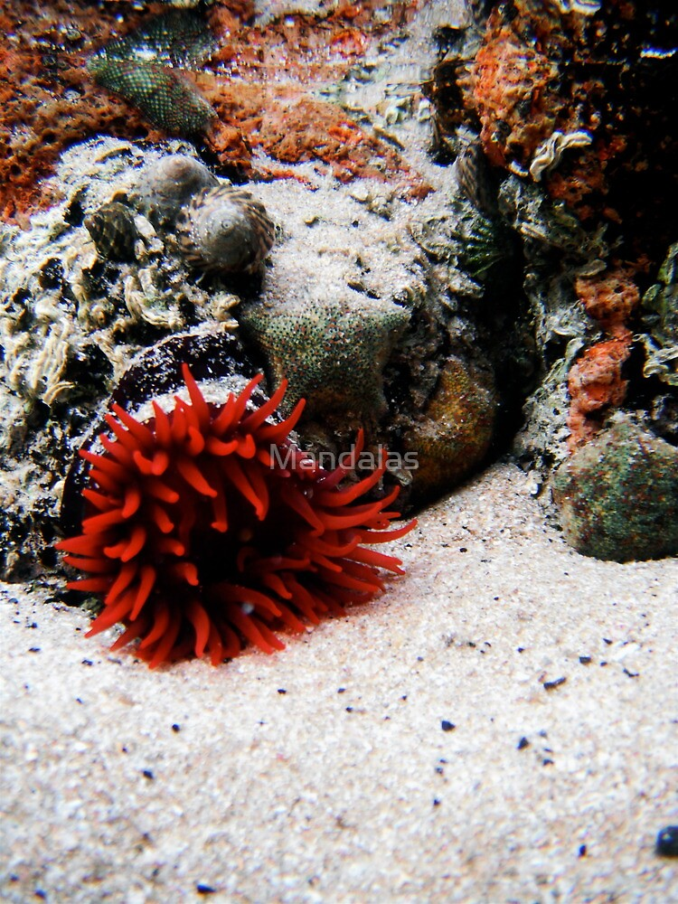 Little Red Anemone by Mandalas