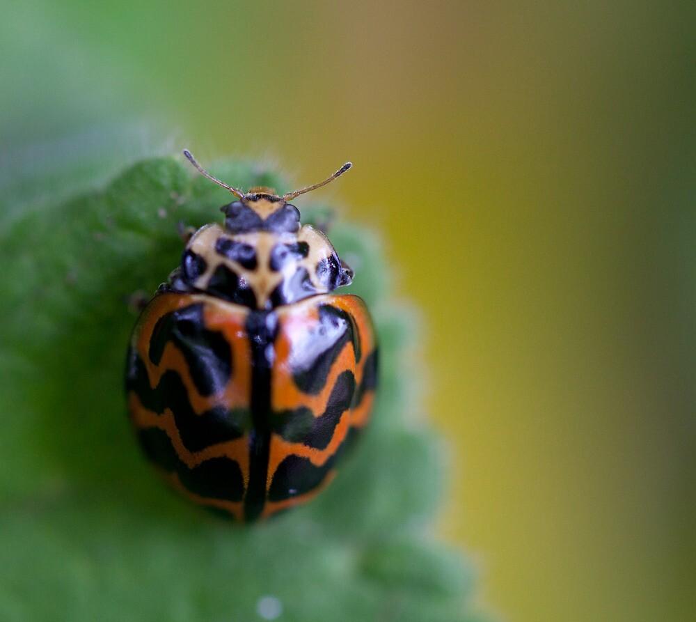 Lady bug, Ridgeway, Tasmania by Andy Townsend